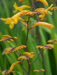Crocosmia-columbus2
