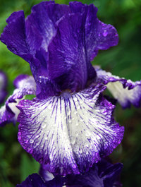 Iris-art-deco