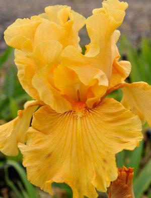 Iris 'Mango Entree'