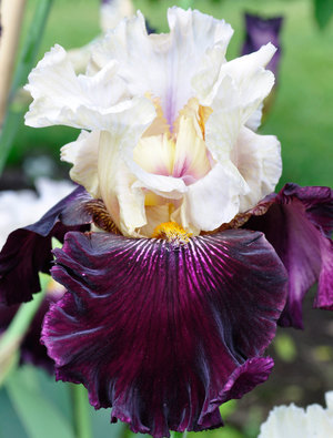 Iris 'Twist of Sheree'