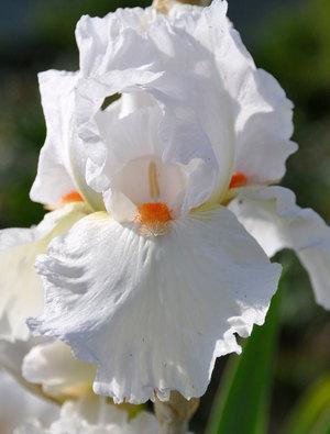 Iris 'Popped White'