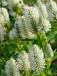 Trifolium-rubens-alba5
