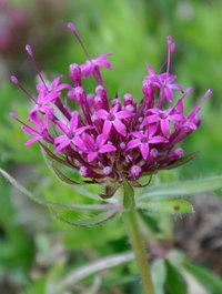 Phuopsis-stylosa-purpurea
