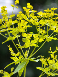 Euphorbia-ceratocarpa