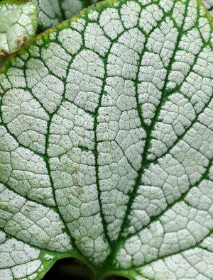 Brunnera macrophylla 'Silver Heart'