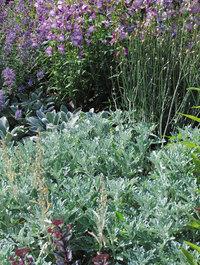 Artemisia-stelleriana