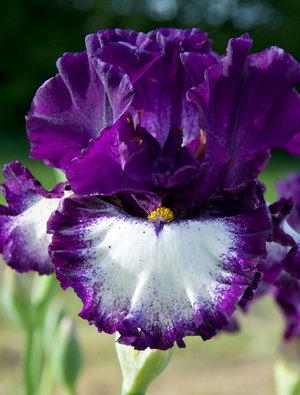 Iris 'Marry The Night'