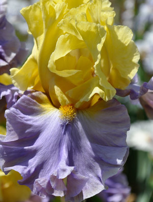 Iris 'Swedish Lullaby'