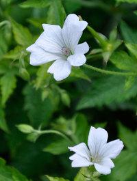 Geranium-trevors-white2