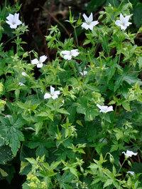 Geranium-trevors-white1
