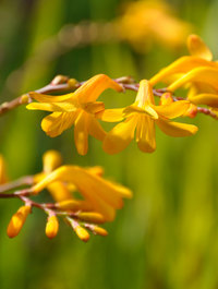 Crocosmia 'Norwich Canary'