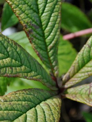 Rodgersia aesculifolia henrici