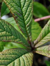 Rodgersia-aesculifolia-henrici