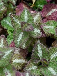 Lamium-maculatum-roseum