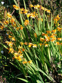Crocosmia-columbus4