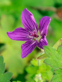 Geranium wlassovianum 'Lakwijk Star'