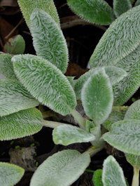 Stachys-byzantina-tiny-ears