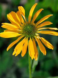 Echinacea-yellow-passion2