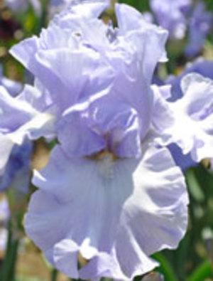 Iris 'Water Waltz'