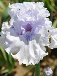 Iris 'When Angels Sing'