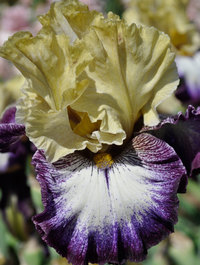 Iris 'Margin Call'