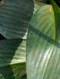 Hosta-devon-green