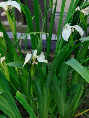 Iris pseudocorus 'Creme de la Creme'