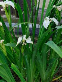 Iris-pseudocorus-alba