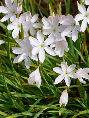 Hesperantha coccinea 'Alba'