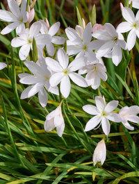 Hesperantha-alba