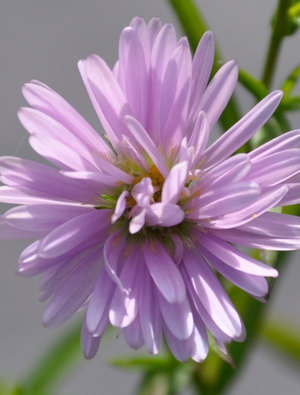 Aster ericoides 'Cryille'