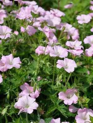 Geranium x ox. 'Patricia Josephine'