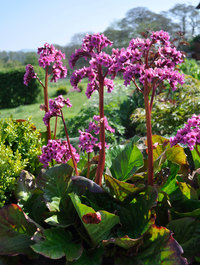 Bergenia 'Bressingham Bountiful'