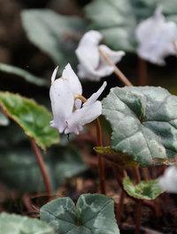 Cyclamen-hederifolium-alba