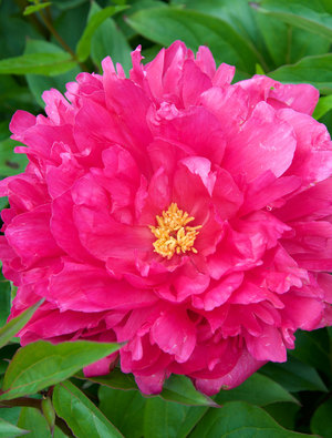 Peony 'Bunker Hill'