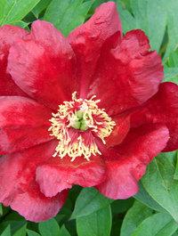 Peony 'Sonoma Velvet Ruby'