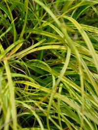 Carex-the-beatles