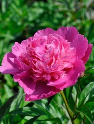 Scented Peony Collection
