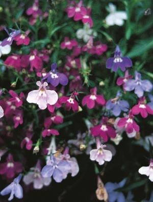 Lobelia pendula 'Cascade Mixed'