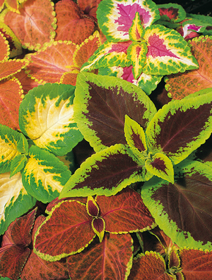 Coleus 'Top Crown'