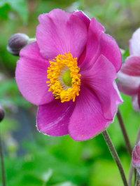 Anemone-bowles-pink1