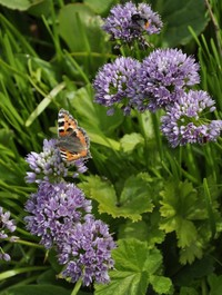 Allium_senescens_with_butterfly