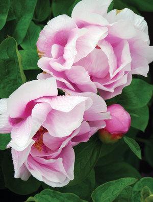 Peony 'May Lilac'
