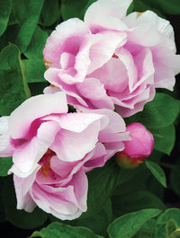 Peony-may-lilac