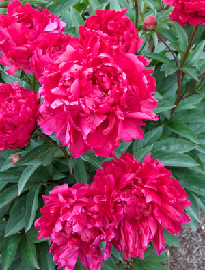 Peony 'Augustin d'Hour'