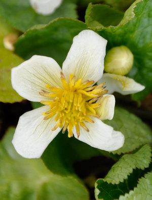 Caltha palustris 'Alba'
