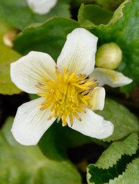 Caltha-palustris-alba