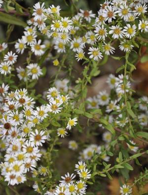 Aster ericoides 'White Heather'