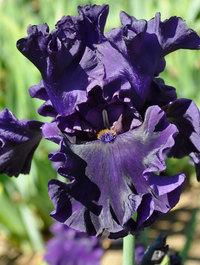 Iris-adriatic-noble