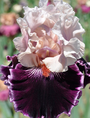 Iris 'Countess'